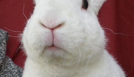 Close up of white bunny with curly whiskers